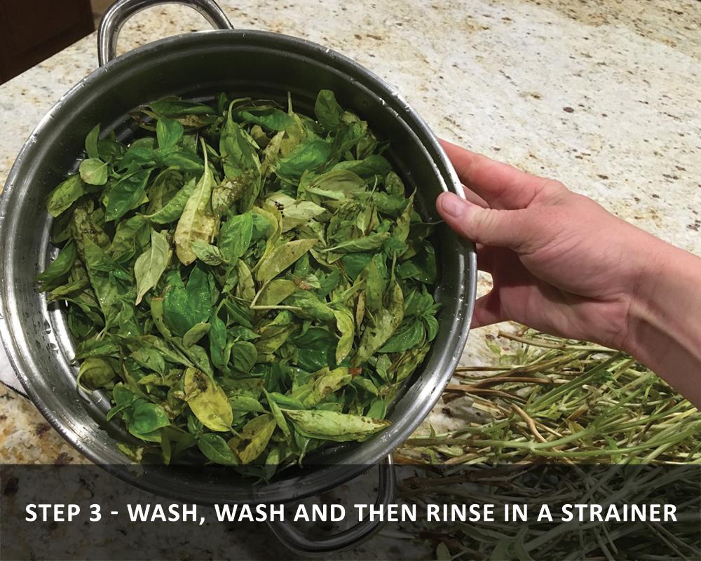 harvesting basil - Washing Basil and Then Rinse