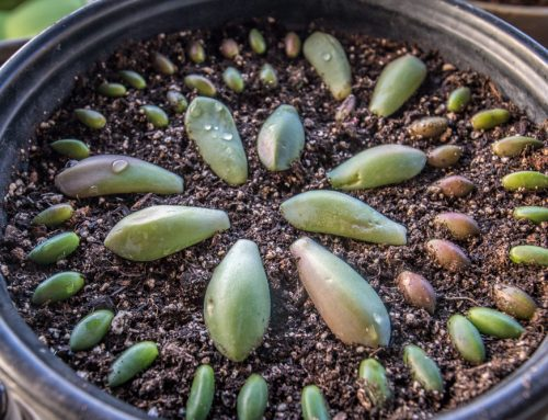 Succulent Propagation Leaf and Beheadings