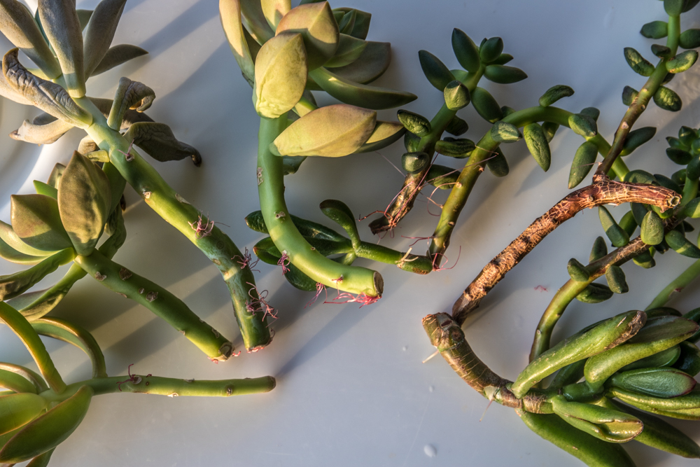 Succulent Propagation - Beheadings Taking Root