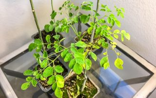 Growing Moringa Tree Indoors Sacramento