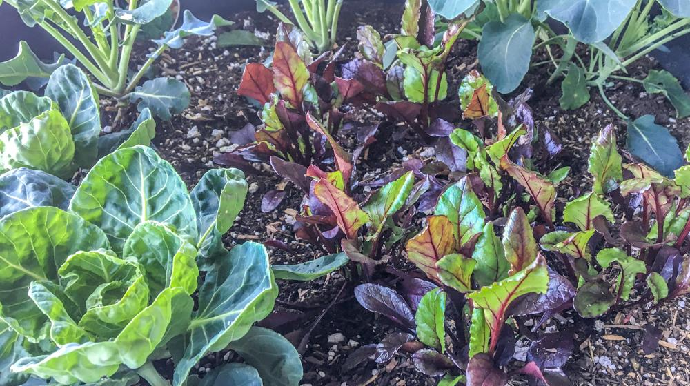 Winter Garden Sacramento - Beets