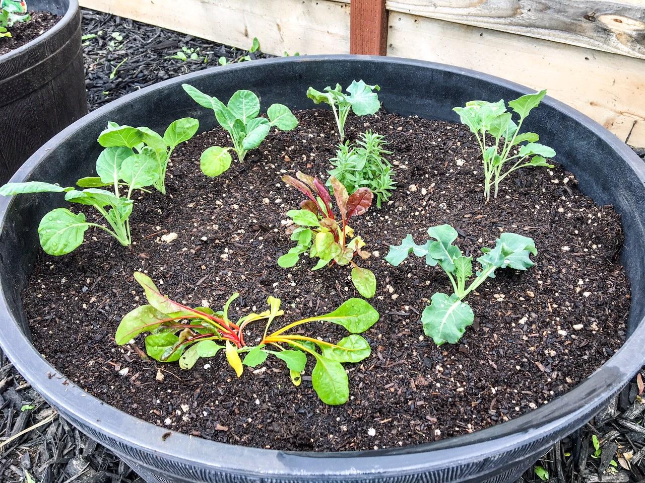 winter veggie garden sacramento zone9b slightly organic