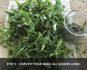 harvesting basil - harvesting all season