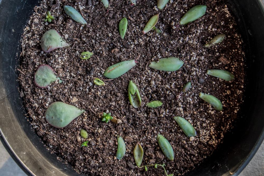 Succulent Leaf Propagation (33 Days After Cutting)