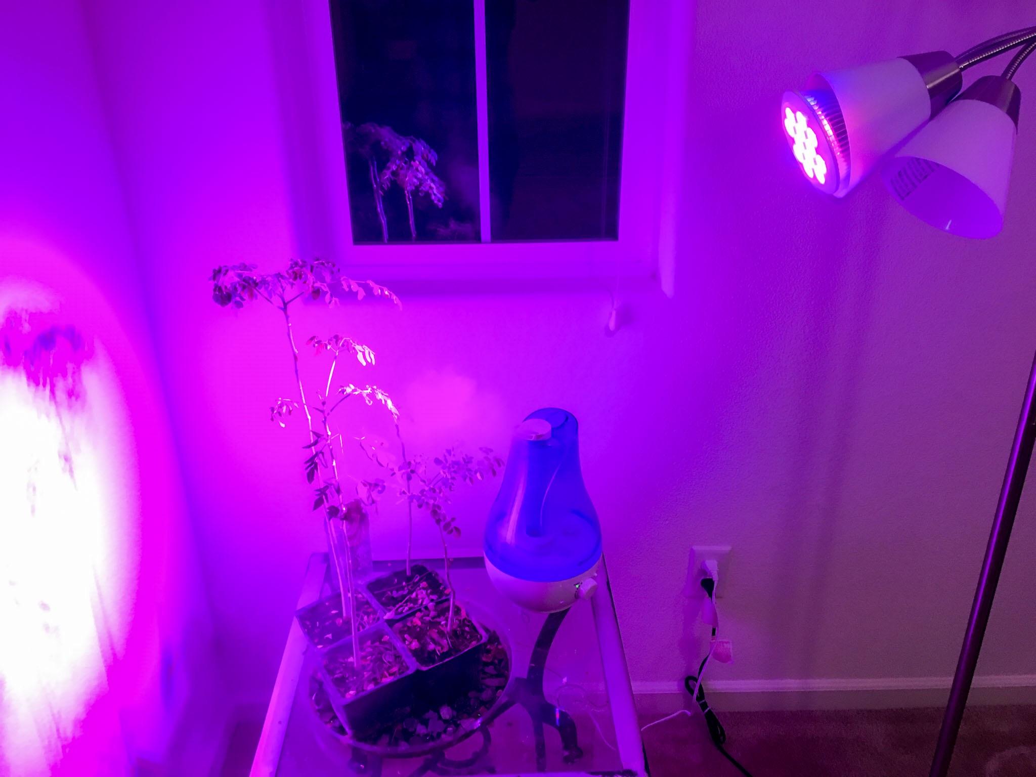 Indoor Lighting for Moringa Trees