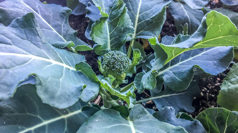 Winter Garden Sacramento - Broccoli