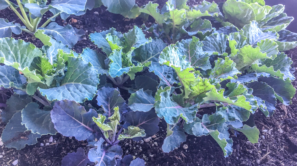 Winter Garden Sacramento - Kale